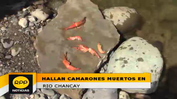 Camarones aparecen muertos en orillas del río de Chancay.