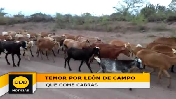 Pobladores preocupados por animal salvaje que ataca ganado cabrío.
