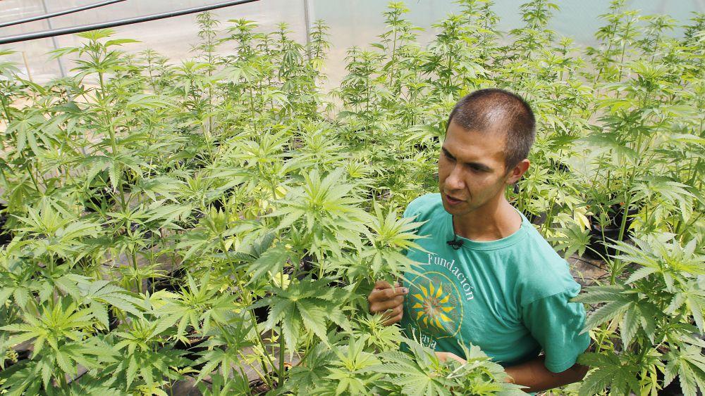 Chile ha sido el primero en Latinoamérica en cultivar plantas de cannabis para uso medicinal.