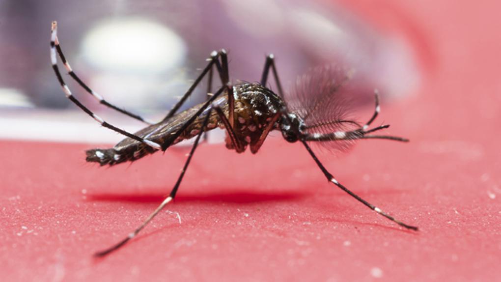 Las hembras del Aedes aegypti ponen en promedio entre 100 a 300 huevos, y pican reiteradas veces.