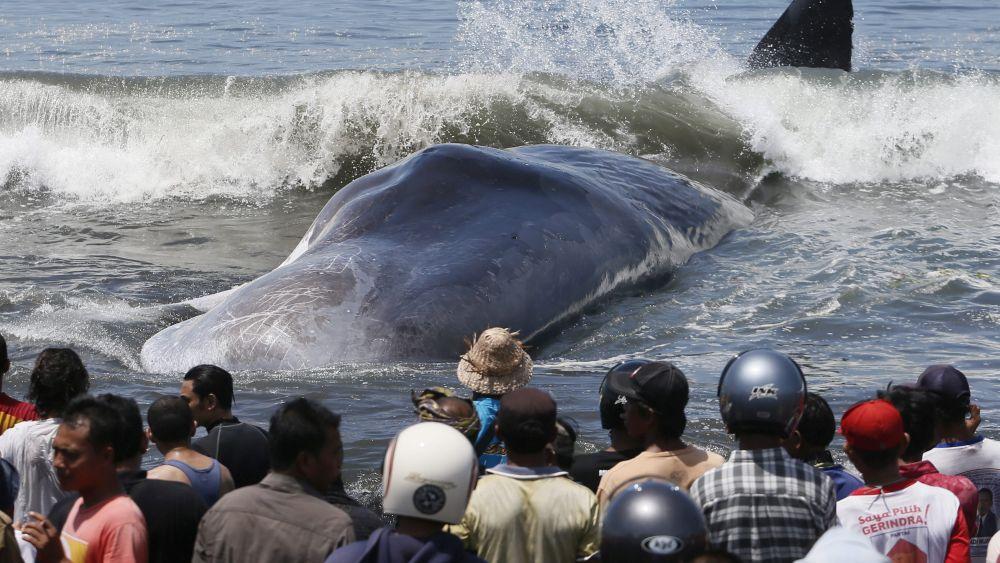 La presencia del cadáver ha congregado a decenas de turistas, que buscas fotografiar al animal muerto.