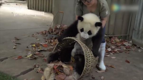 Los dos jóvenes pandas no dejaron que la cuidadora hiciera su trabajo.