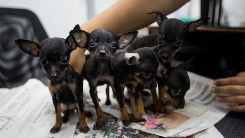 Las dosis de vacuna séxtuple que son de aplicación obligatoria en perros de cualquier edad no se encuentran en las veterinarias del Gobierno.