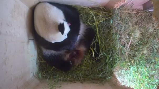 Los pandas gigantes son considerados una especie en riesgo de extinción, y se calcula que hoy solo hay 1864 animales en la naturaleza salvaje, que viven en el suroeste de China. En la mayoría de zoológicos y otros lugares de cría suelen reproducirse mediante inseminación artificial.