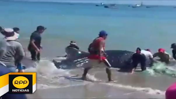 Video muestra cómo los pescadores tumbesinos realizan denodados esfuerzos por liberar a especie marina.