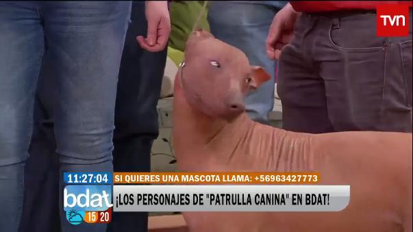 En julio, en el programa chileno Buenos Días A Todos fue presentado 'Limón', un perro peruano.