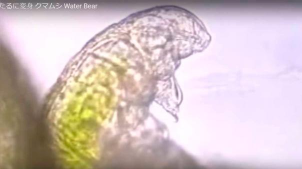 Imágenes microscópicas en movimiento de tardigrados u ositos de agua.