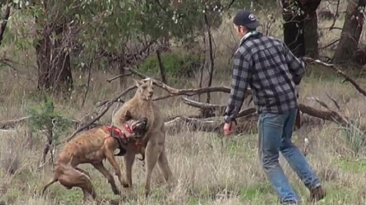 El hombre no dudó en acudir corriendo al rescate de su mascota, por lo que enfrentó al canguro.