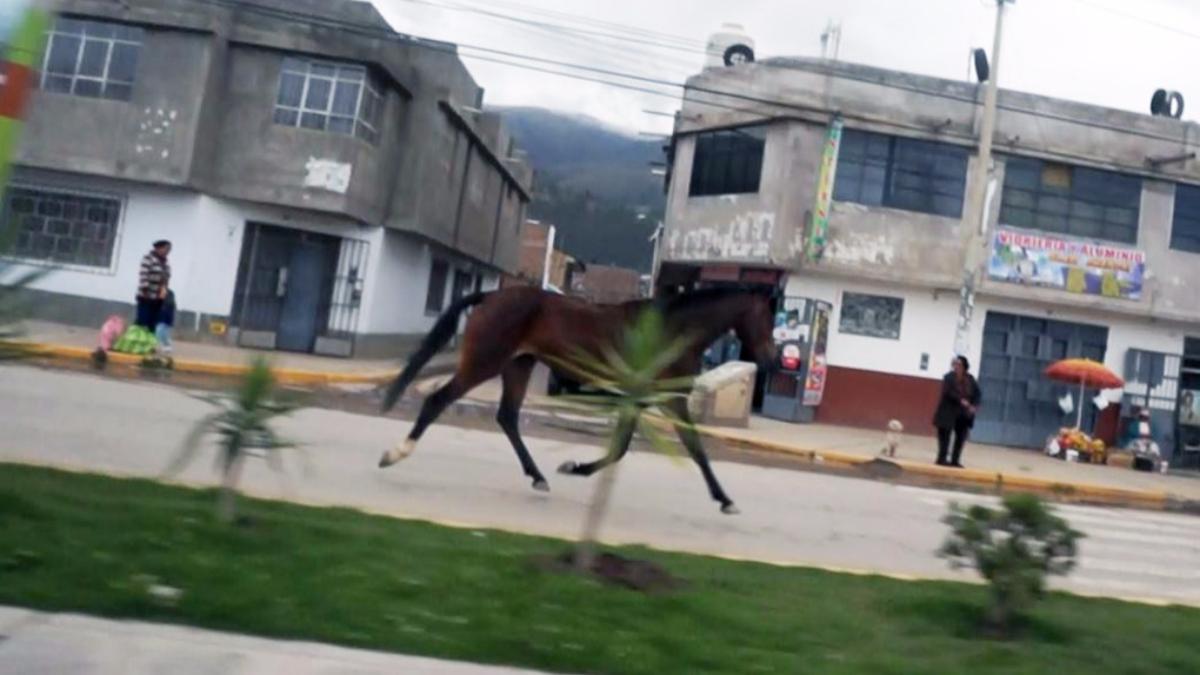 El recorrido del animal tuvo que ser resguardado por los serenos de Huancayo para evitar atropellos.