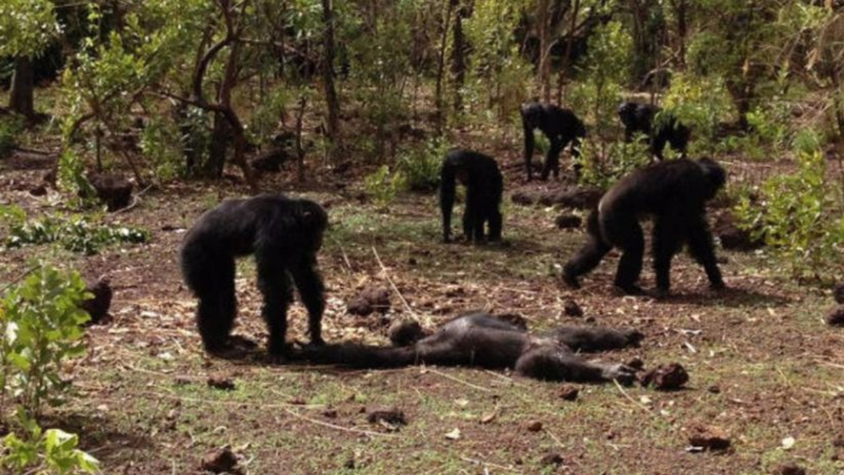 El chimpancé volvió tras el perder su rango en la comunidad, pero fue asesinado por los 'seguidores' del nuevo macho alfa.