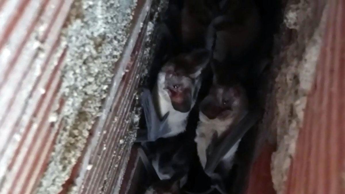 Aparecen murciélagos en Ica.