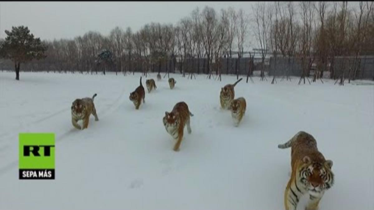 Los felinoes se encontraría cautivos en una 'granja de tigres'.