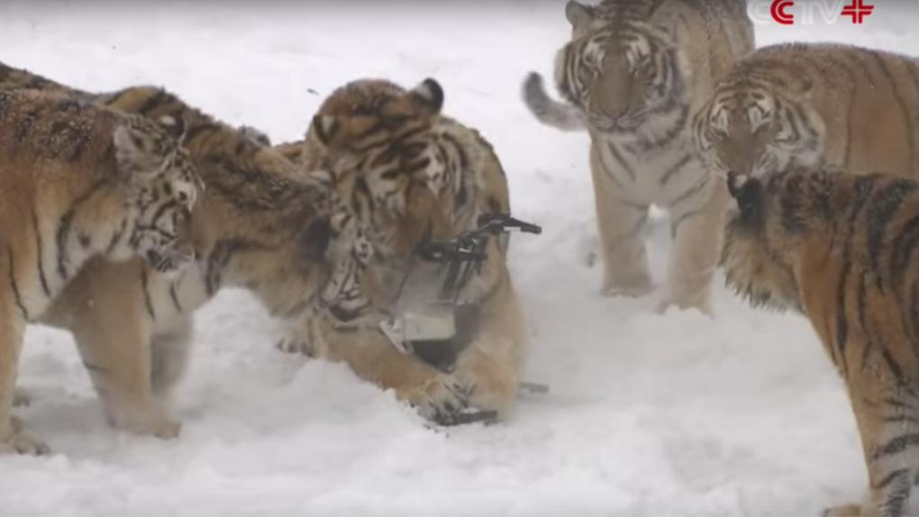 Los tigres siberianos tras capturar el dron