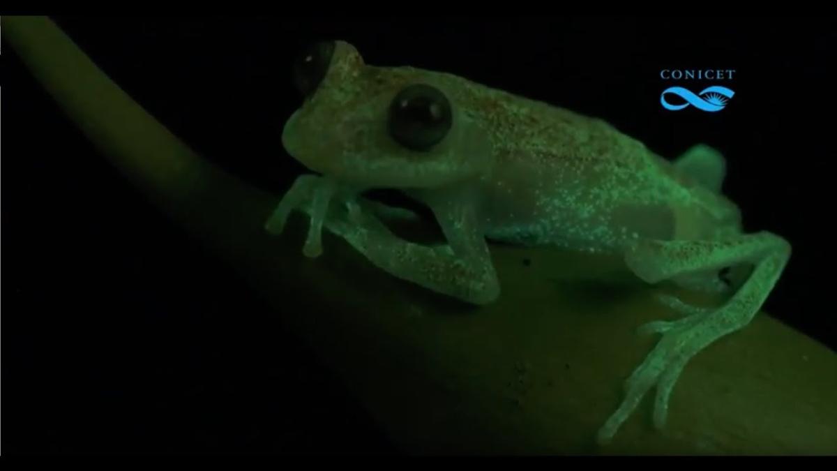 El ojo humano no está capacitado para vislumbrar este fenómeno de forma natural, solo las ranas pueden.