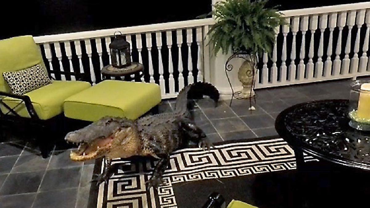 Caimán sube hasta el segundo piso de una casa.