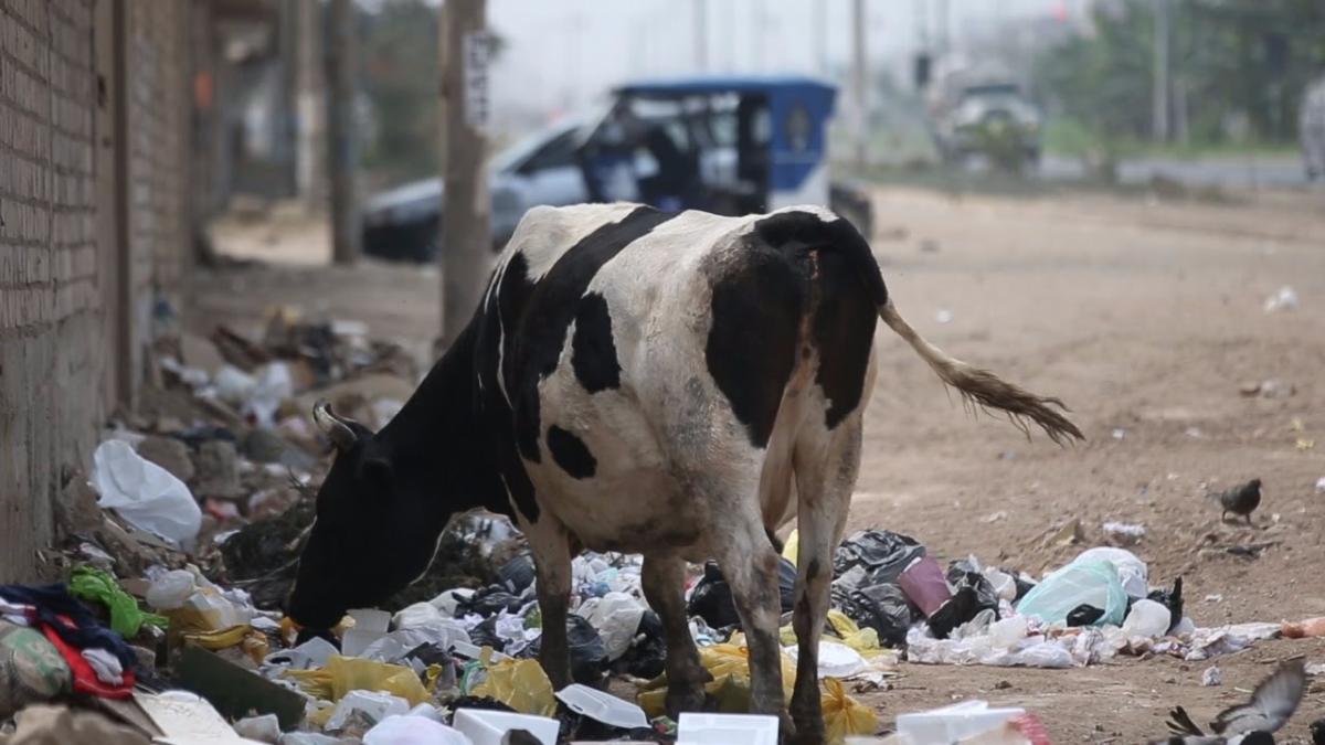 Las vacas comen basura de la vía pública.