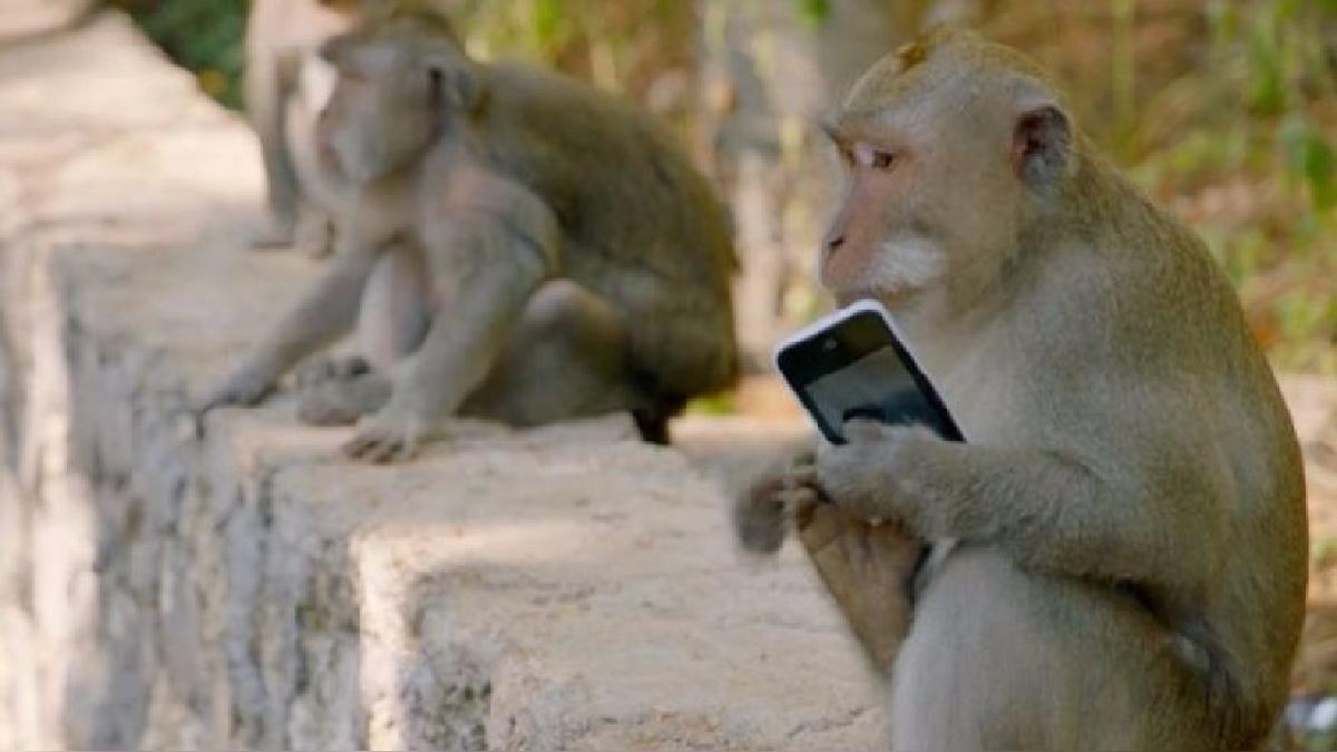Así actúan los monos que 'secuestran' pertenencias a cambio de una recompensa.