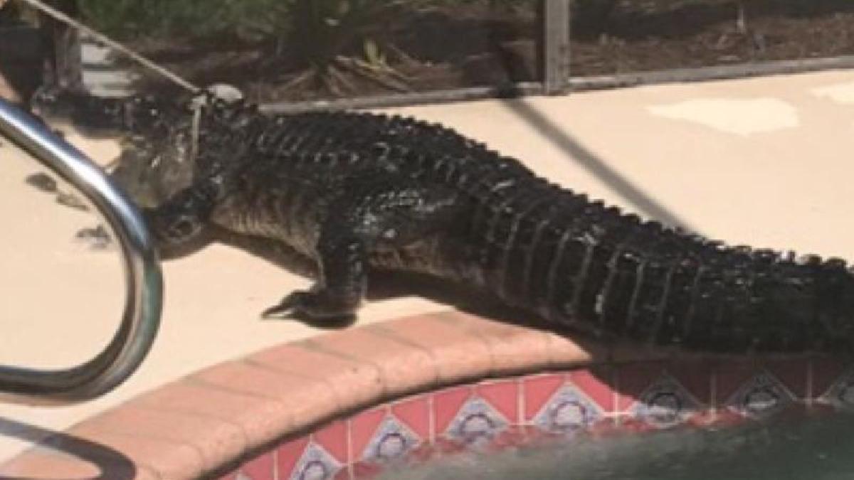 Las altas temperaturas en Sarasota empujaron al enorme caimán a buscar refrescarse en la piscina.