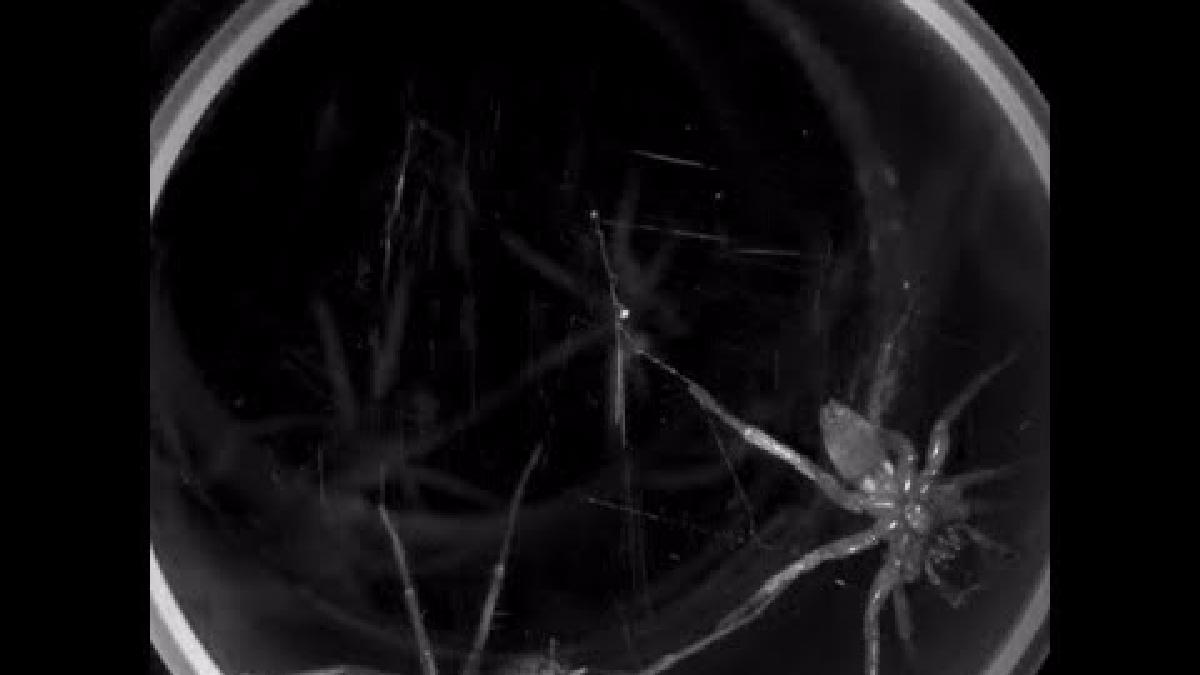 El video muestra cómo es la lucha del arácnido.