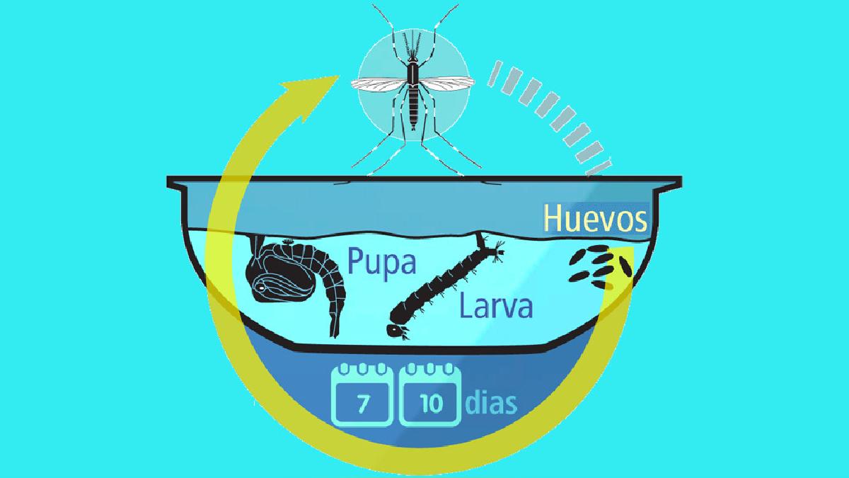 Los huevos del Aedes aegypti pueden vivir varios meses si quedaron pegados en el cilindro o en los bordes de los tanques de agua y no llegaron a eclosionar por el frío.