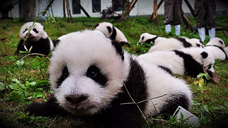 Los pandas fueron presentados en el centro de conservación de Chengdu.
