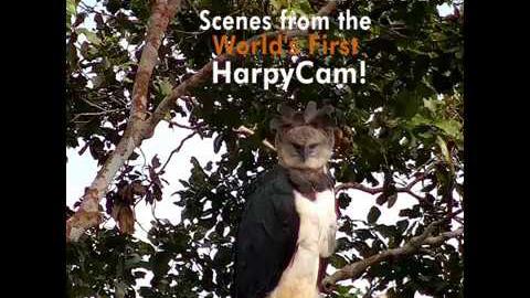 El águila harpía es la segunda águila más grande del mundo.