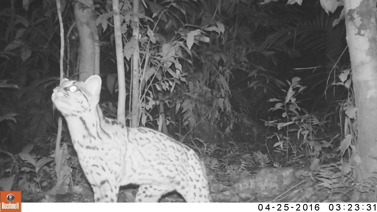 El tigrillo es muy veloz y sigiloso, por lo que es difícil verlo en su hábitat natural.