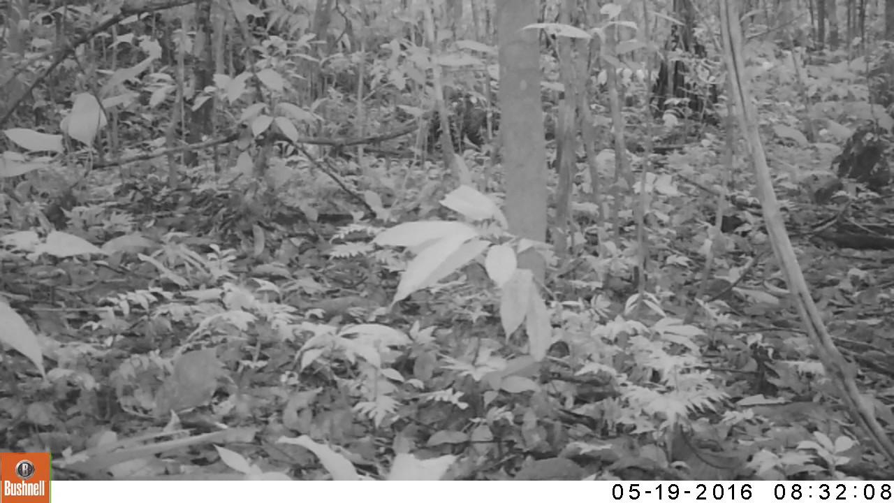 Uno de los objetivos de los especialistas con las cámaras trampas es conocer más sobre la población de jaguares.