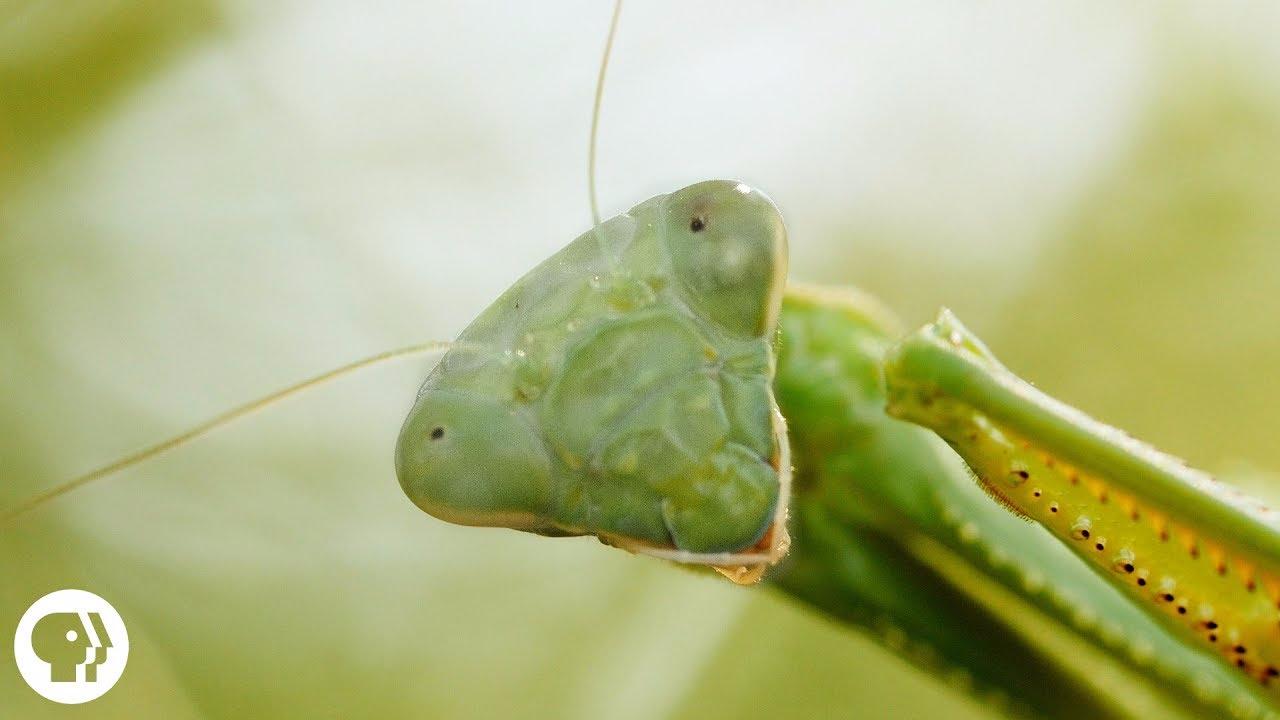 La mantis religiosa puede llegar a medir entre 5 a 7 centímetros de longitud.