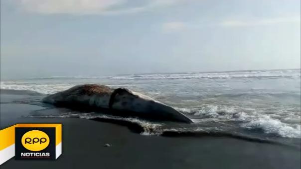 Ballena permanece en la orilla de la playa y alcalde critica falta de apoyo para poder enterrarla.