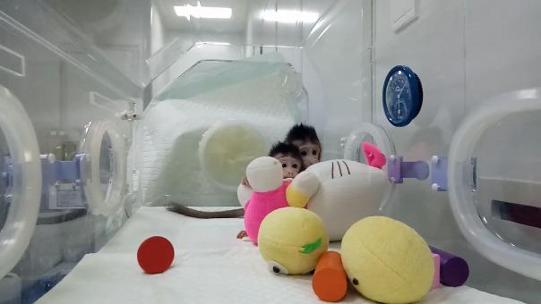 Los macacos clonados por los científicos chinos.
