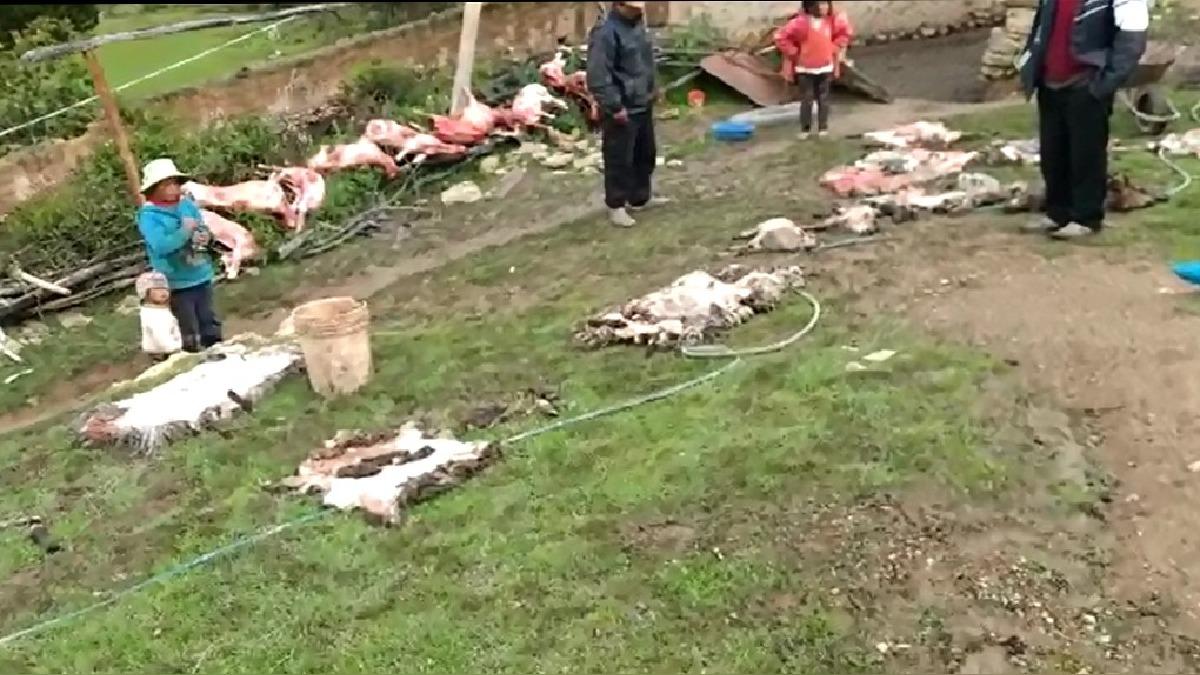 Muerte masiva de ovejas.