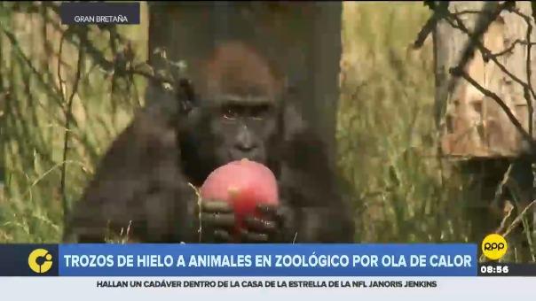 Los monos ardilla y los gorilas, comieron mezclas congeladas que incluían garbanzos, semillas de girasol, nueces y fruta sin azúcar.