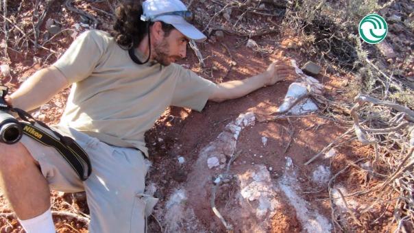 Los investigadores hallaron algunas vértebras del cuello y de la cola, huesos de las patas anteriores y partes de las traseras.